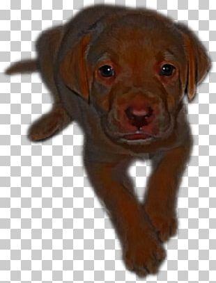 Labrador Retriever Puppy Dog Breed Companion Dog Dog Collar PNG