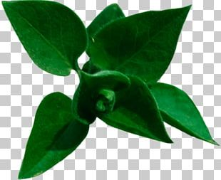 Leaf Tree Branch Common Lilac PNG