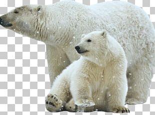 Polar Bear Brown Bear Polar White Portable Network Graphics PNG
