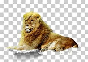 East African Lion Animal Google S Zoo PNG