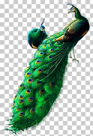 Bird Peafowl Watercolor Painting Art PNG