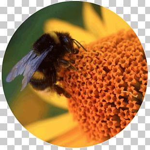 Honey Bee Bumblebee Insect Pollinator PNG