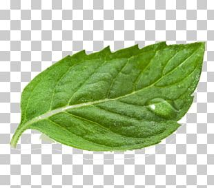 Tea White Mulberry Extract Leaf Powder PNG