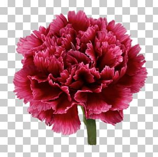 Carnation Pink Flowers Transvaal Daisy Flower Bouquet PNG