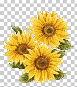 Watercolor Painting Common Sunflower Drawing PNG