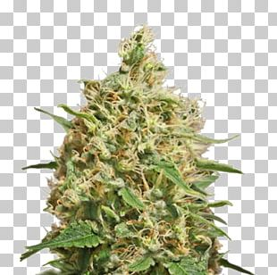 Cannabis Sativa Kush Medical Cannabis Barneys Farm Shop PNG
