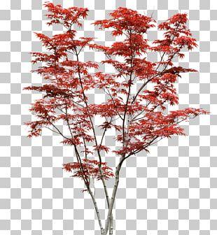 Japanese Maple Acer Japonicum Acer Davidii Shrub Tree PNG