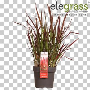 Ornamental Grass Japanese Sedge Carex Hachijoensis Chinese Fountain Grass Flowerpot PNG