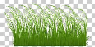 Grasses Ornamental Grass Lawn PNG