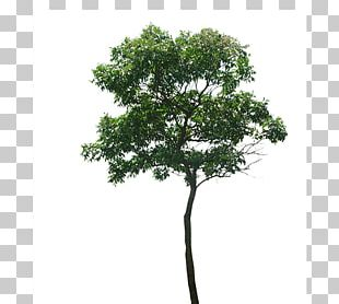 Branch Tree PNG