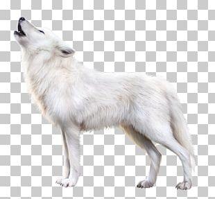 Arctic Fox Alaskan Tundra Wolf Arctic Wolf Wolfdog PNG