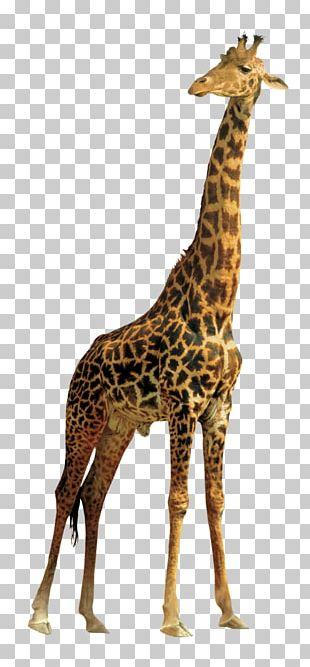 Northern Giraffe Masai Giraffe PNG