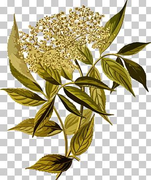 Elderflower Cordial Sambucus Racemosa Tree Shrub PNG