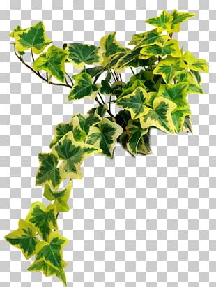 Portable Network Graphics Houseplant Common Ivy Psd PNG