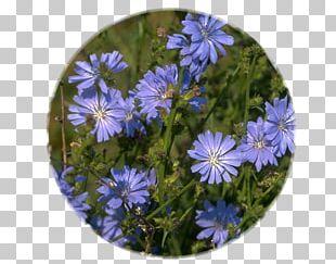 Chicory Flower Medicinal Plants Chicorée Industrielle PNG