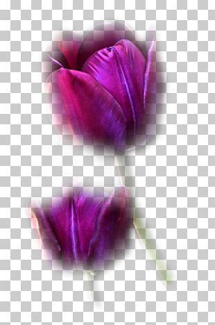 Tulip Pink Flowers Purple Blue PNG