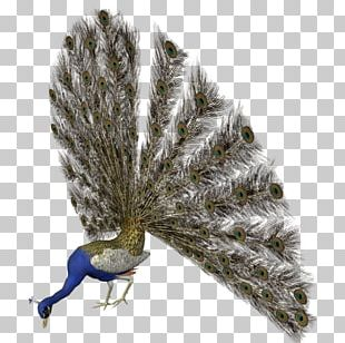 Asiatic Peafowl Bird Feather PNG