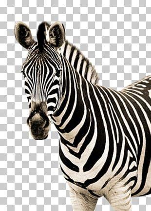 Zebra Quagga PNG