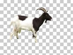 Black Bengal Goat Sheep PNG