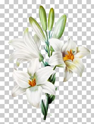 Madonna Lily Arum-lily Easter Lily Orange Lily Flower PNG