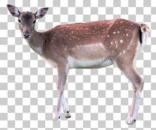 Deer Axis PNG