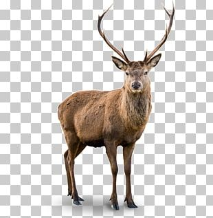 White-tailed Deer Red Deer Elk Barasingha PNG