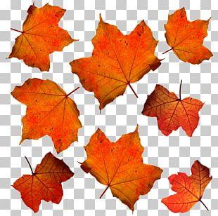 Autumn Leaf Color Maple Leaf Orange PNG