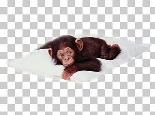 Chimpanzee Desktop Primate Monkey PNG