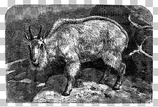 Feral Goat Barbary Sheep Caprinae Cattle PNG