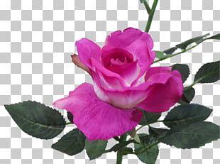 Garden Roses Cabbage Rose Magenta Pink Floribunda PNG