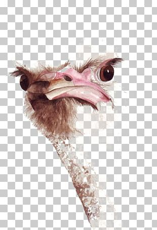 Common Ostrich Bird Watercolor Painting Drawing PNG