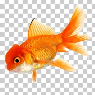 Goldfish Koi Aquarium Tropical Fish PNG