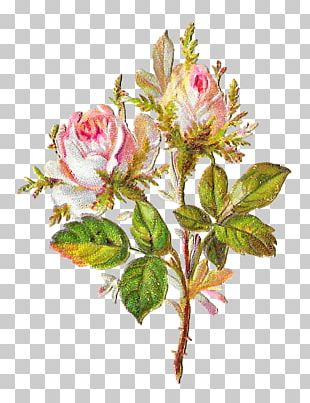 Cabbage Rose Garden Roses Pink Cut Flowers Shabby Chic PNG
