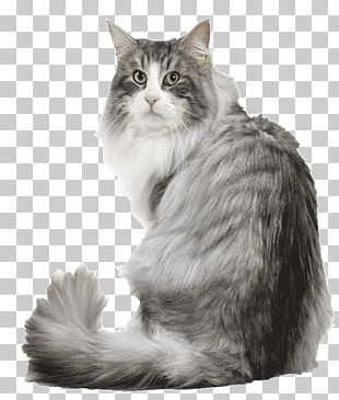 Norwegian Forest Cat Siberian Cat Maine Coon Kitten Dog PNG