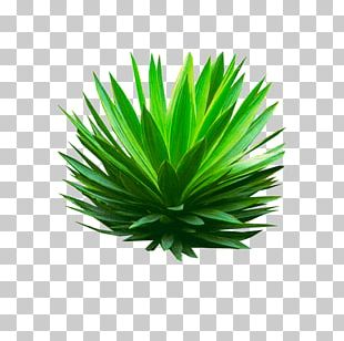 Agave Azul Portable Network Graphics Plants Agave Angustifolia PNG