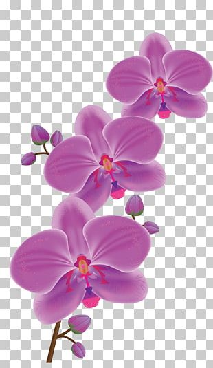 Orchids Flower Phalaenopsis Schilleriana PNG