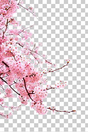 Cherry Blossom Cerasus PNG