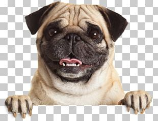 Pug Puppy Stock Photography Pet Dog Breed PNG