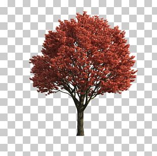Japanese Maple Acer Japonicum Red Maple Sugar Maple Tree PNG