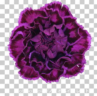 Carnation Cut Flowers Violet Dianthus Chinensis PNG