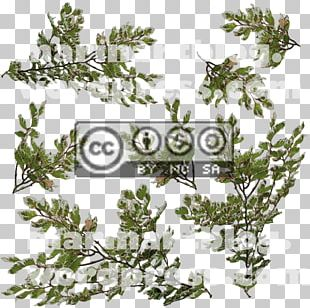 Evergreen Twig Pine Leaf Creative Commons PNG