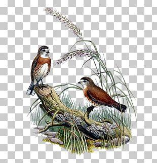 Bird Feather Sparrow Beak PNG