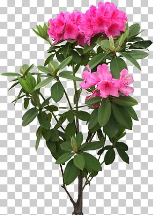 Flower Tree Rhododendron Simsii 中国十大名花 PNG