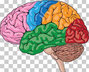 Human Brain Homo Sapiens Human Body Human Skeleton PNG