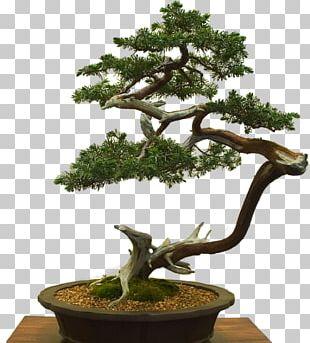 Sageretia Theezans Literati Style Penjing: Chinese Bonsai Masterworks Flowerpot Tree PNG