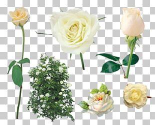 Shrub Garden Roses PNG