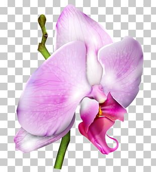 Moth Orchids PNG
