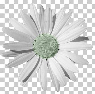 Chamomile Common Daisy PNG