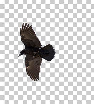 American Crow Common Raven Bird Flight PNG