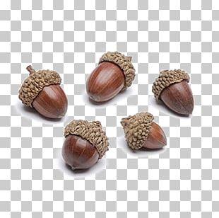 Acorn Autumn Oak Thanksgiving Day Nut PNG
